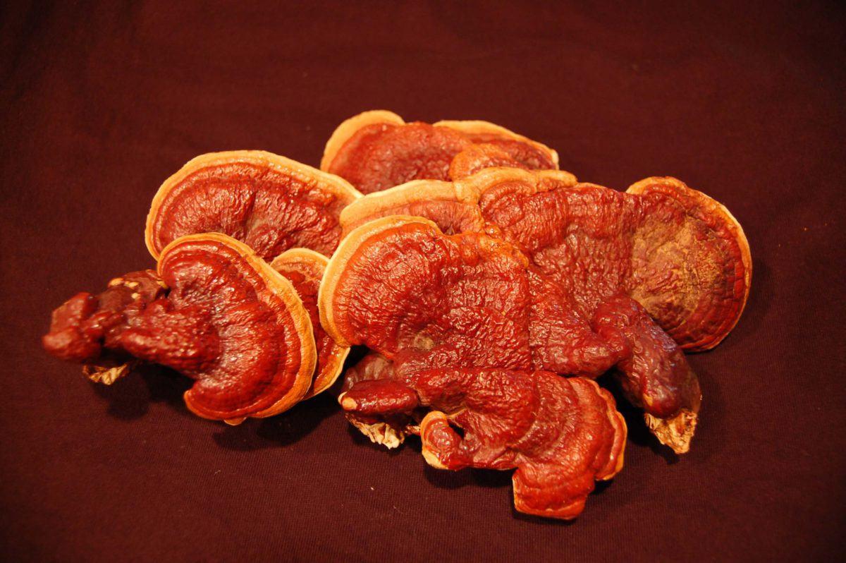 Grzyb Reishi Ganoderma lucidum: profil i korzyści zdrowotne - Biolit